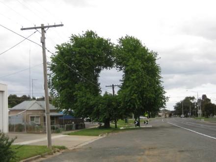 Ballarat street tree